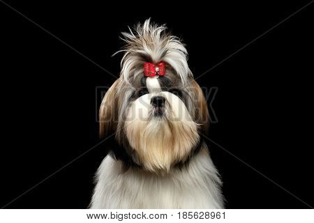 Portrait of Groomed Shih tzu Dog on Isolated Black Background