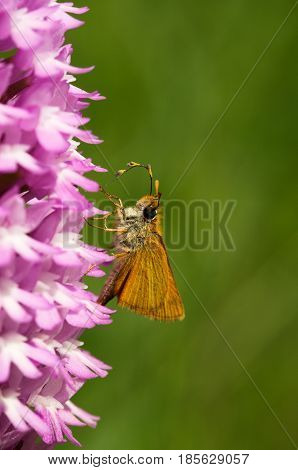 Lulworth Skipper Butterfly - Thymelicus Acteon - Pollinating Pyramidal Orchid - Anacamptis Pyramidal