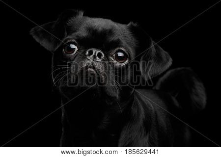 Close-up head of Amazing petit brabanson dog looking with hope on isolated black background, front view