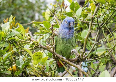 Blue-headed Parrot Sitting on a Tree in the Garden of a Church in Quito Ecuador