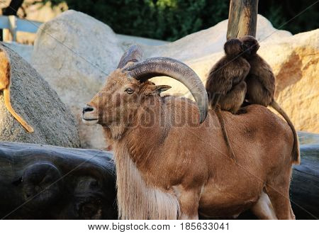 Mountain goat with horns,Monkeys,baboons animal love nature