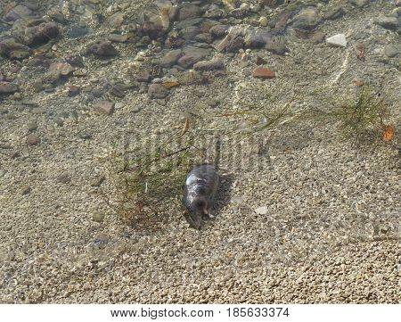 Dead rat drifting in the sea water