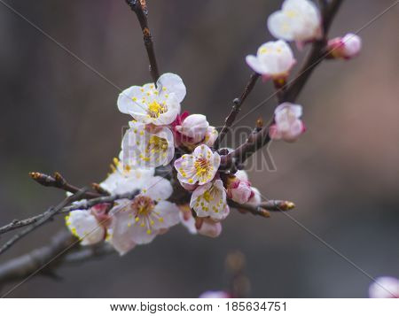 The fruity fragrant tree blossoms very nice closeup