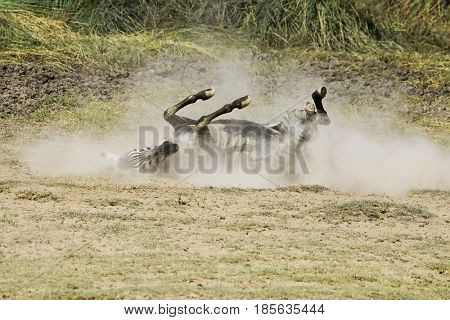 This zebra is dusting which is rolling in the dirt on the ground to cool off and remove bugs.  This was on safari in Tanzania, Africa