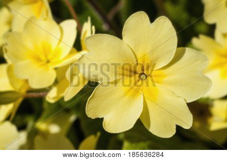 A yellow primrose flower in full focus with others receding into soft background with green foliage.