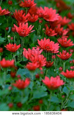 a photo of red chrysanthemum flowers close up