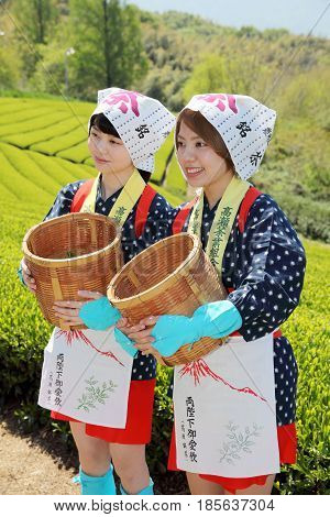 Mitoyo, Kagawa, Japan - April 23, Young japanese women with traditional clothing kimono harvesting green tea leaves on farmland of tea plantation on April 23, 2014 Mitoyo Kagawa, Japan.