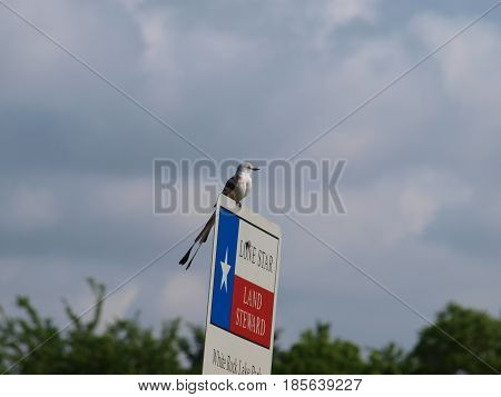 A scissor tail flycatcher sits atop a sign the state of Texas places in protected wildlife and flora areas. Lunch will fly in as he waits.