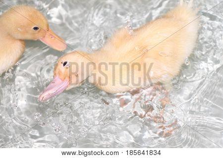 Two Baby Pekin Ducks Playing in the Bathtub