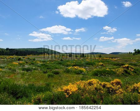 Grassland with brooms and other flowers at Mont Lozere near Mas de la Barque in the Cevennes mountains France