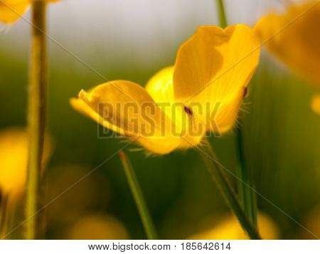 Yellow Buttercup Head Flower Close Up Macro Smooth Peace