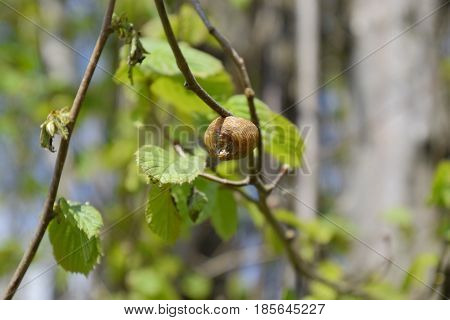 Ootheca Mantis On The Branches Of A Tree. The Eggs Of The Insect Laid In The Cocoon For The Winter A