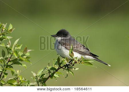 Eestern Kingbird