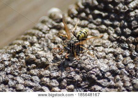 Vespiary. Wasps Polist.