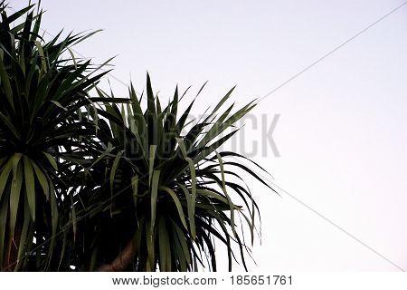 part of Dracaena loureiri tree with gray background