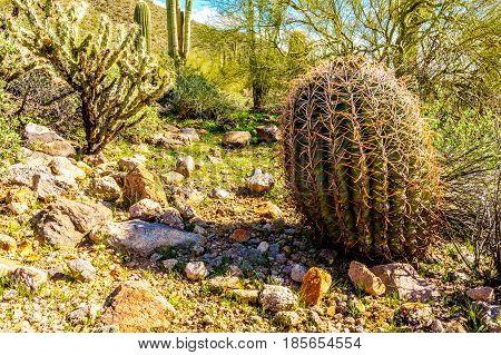 Barrel Cactus in the semi-desert landscape of Usery Mountain Regional Park near Phoenix, in Maricopa County, Arizona