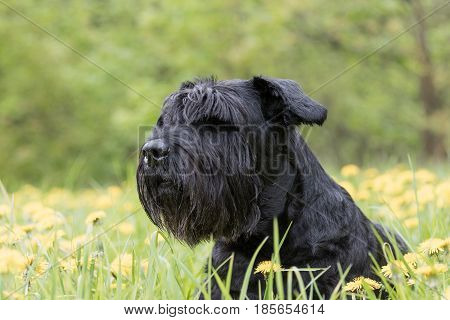 Side view of the head of the Giant Black Schnauzer Dog sitting at the blossoming dandelion meadow