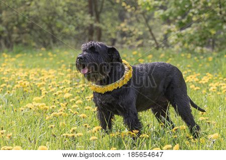 Giant Black Schnauzer Dog with a wreath of dandelion on the neck is standing at the blossoming dandelion meadow. Horizontally.