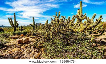 The semi desert landscape of Usery Mountain Regional Park near Phoenix Arizona with its many varieties of Cacti such as the Saguaro and Pencil Catus