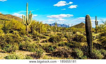 Saguaro, Ocotillo and Barrel Cacti in the semidesert landscape in Usery Mountain Regional Park near Phoenix, with Superstition Mountain in the background