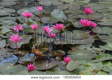 pink water lily in tropical pond in Thailand