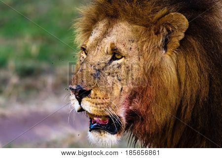 Attentive look of a lion. Masai Mara, Kenya