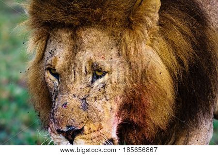 The sight of a lion. Kenya, Africa