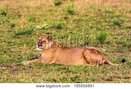 Portrait of a resting lioness. Masai Mara, Kenya