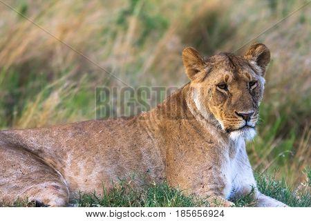 Portrait of a resting lioness on grass. Masai Mara, Kenya