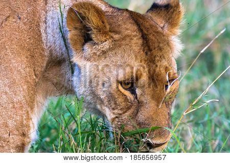 Head of large lioness. Masai Mara, Kenya. Africa