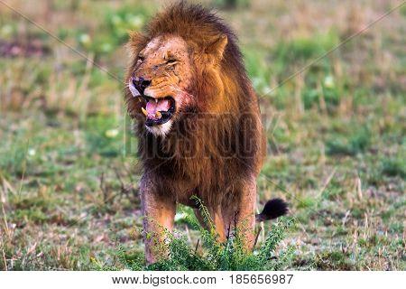 Terrifying roar of a lion. Masai Mara, Kenya