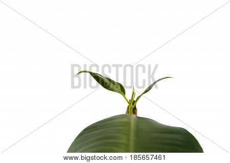 small sprout of a ficus against the background of a big leaf on a white background