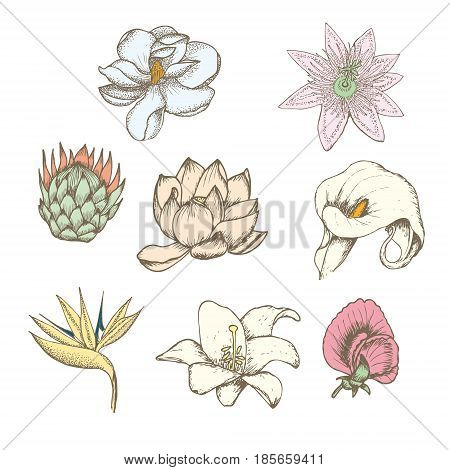 Colored drawing botanical exotic flowers set with protea magnolia passiflora lathyrus strelitzia lotus calla white lily isolated vector illustration
