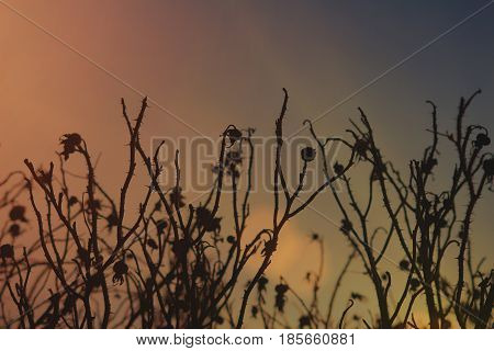 Background of texture Dry briar flowers at sunset in the evening. Texture of flowers backgrounds