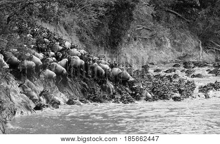 A herd of blue wildebeest (Connochaetes taurinus) crossing a river in the Masai Mara on their great migration through the Serengeti Ecosystem.