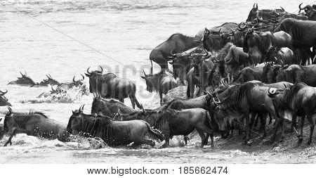 Blue wildebeest (Connochaetes taurinus) enter a river on their great migration. Masai Mara Kenya