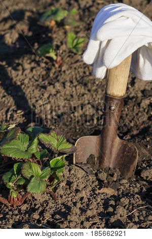 Bushes Of Strawberries, Spade And Gloves