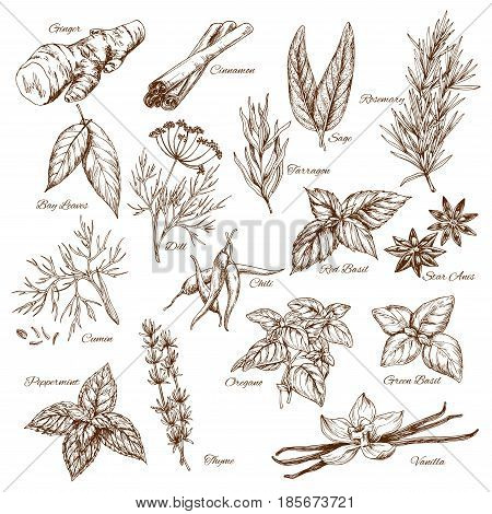 Spices and herbs sketches. Seasonings of ginger and cinnamon, sage and bay, rosemary and tarragon, cumin or peppermint and oregano or basil, chili pepper and vanilla vector