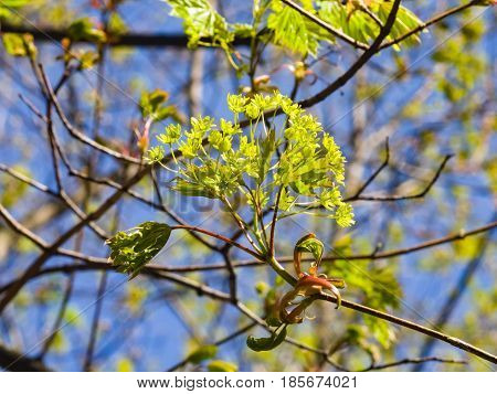 Blooming Norway Maple or Acer platanoides flowers with blurred background macro selective focus shallow DOF.