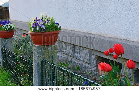 The village garden. Spring garden in front of village house. Tulips in a small garden. Spring flowers in a plastic flowerpot. Iron fence in closeup.