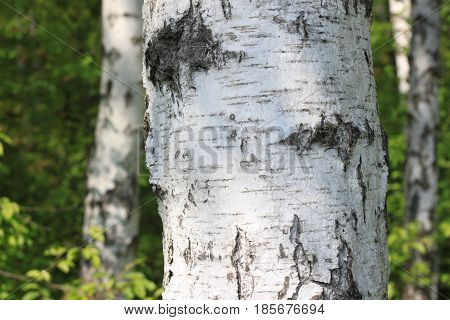 Birch tree trunk in sun outdoors in summer close-up. Birch bark in natural environment in sunlight in morning.