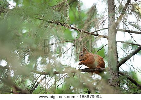 Squirrel red fur funny pets autumn forest on background wild nature animal thematic Sciurus vulgaris, rodent