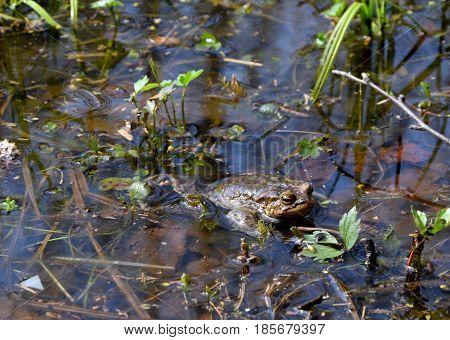 Frog swimmimg in small lake in spring day