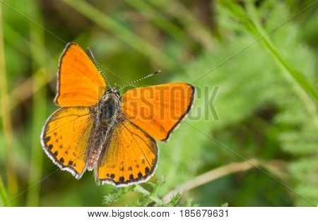 Orange butterfly with black spots on the wings