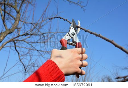 Fruit tree pruning with pruning shears. Gardener hand cut tree branch with bypass secateurs pruning in spring.