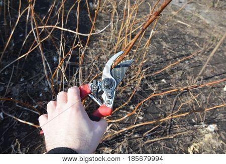 Gardener cutting Rubus idaeus (raspberry also called red raspberry or occasionally as European raspberry) bush.