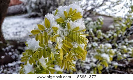 Tree covered in snow. Nature deviance. Temperature anomaly. Spring and snow.
