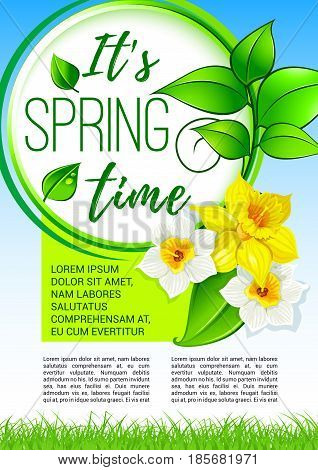 Spring flowers poster for springtime holiday greetings design. Vector blooming narcissus or yellow daffodils with green leaves and flourish petals and blossoms on sunny grass lawn