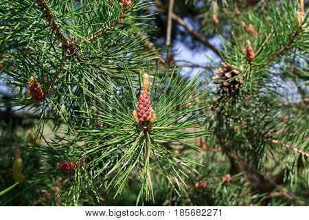 Pine tree branch. Blooming Pine Tree and pine needles