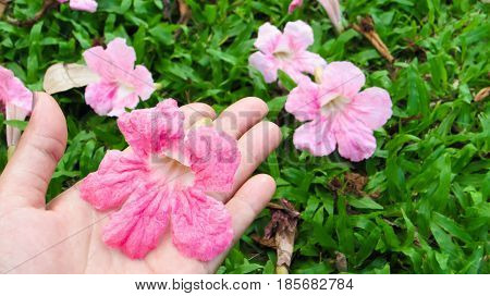 Pink trumpet or pink flower in hand and flowers on gress .